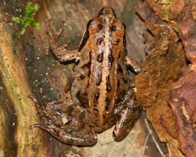 brown European Common Frog