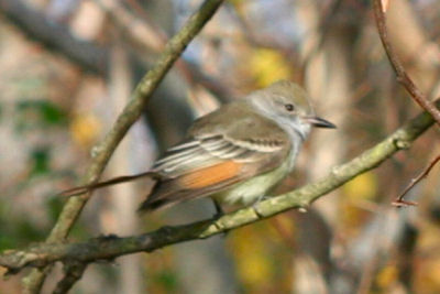 Ash-throated Flycatcher: western vagrant in New York