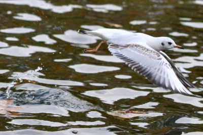 Black-headed Gull in Berlin
