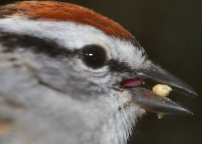 Chipping Sparrow eating seed