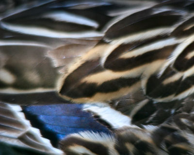 feathers of a female Mallard