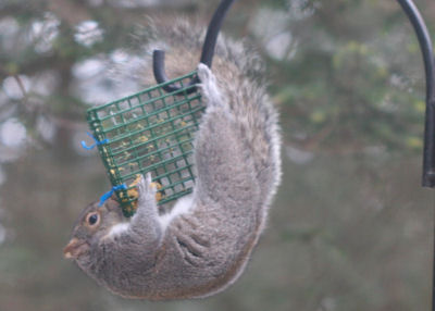 Gray Squirrel on suet dough