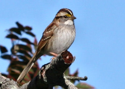 White-throated Sparrow at Jones Beach
