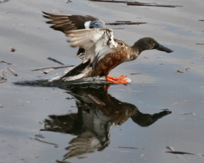 molting male Northern Shoveler
