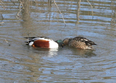 pair of shovelers circling for food