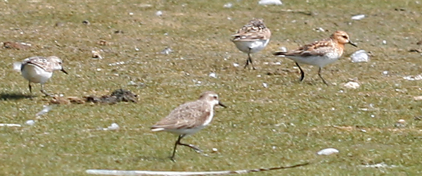 Red-necked Stint with Semipalmated and Least Sandpipers