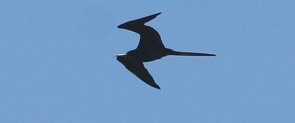 Magnificent Frigatebird (again)
