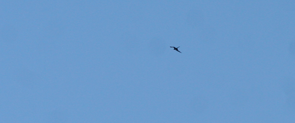 very distant Magnificent Frigatebird