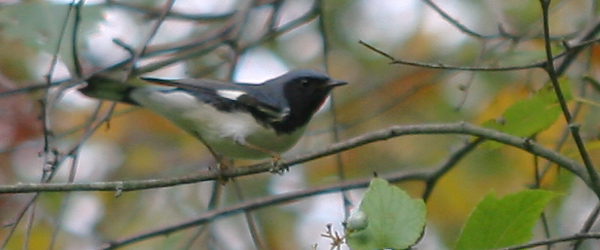 male Black-throated Blue Warbler