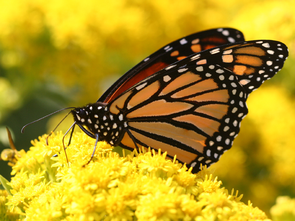 Monarch Butterfly feeding on goldenrod
