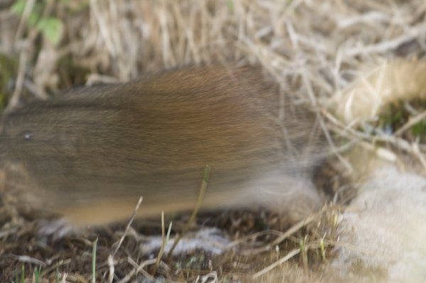 Blurry lemming photo