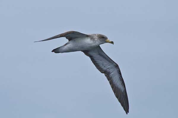 Cory's Shearwater off Cape Point