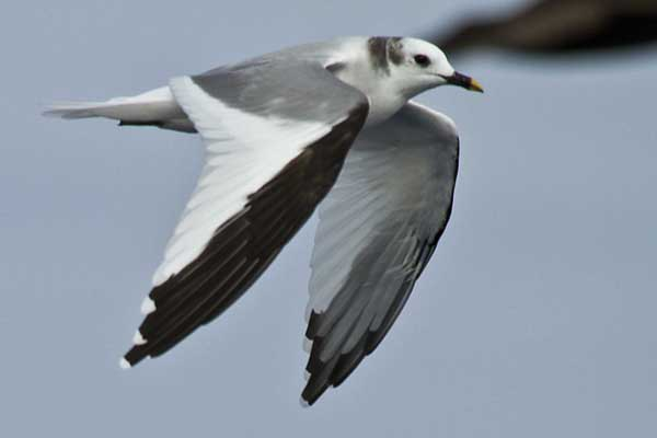 Sabine's Gull off Cape Point
