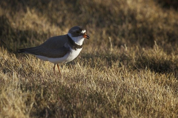 Semipalmated Plover male