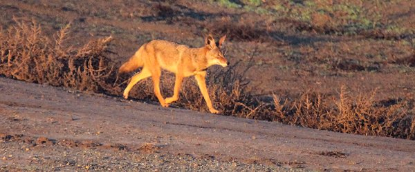 Coyote in southern California