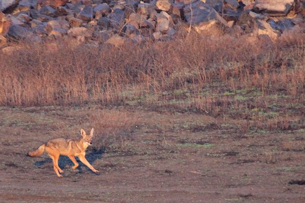 Coyote in Carbon Canyon Regional Park