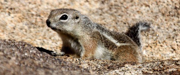 White-tailed Antelope Squirrel on the rocks