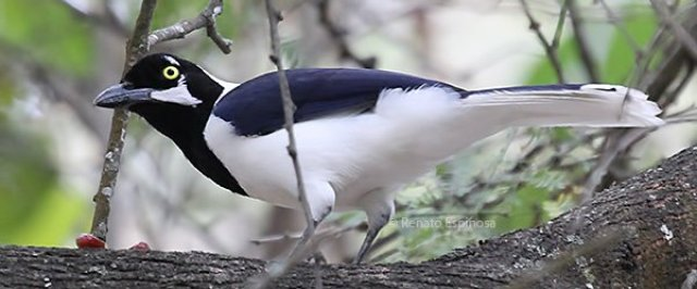 White-tailed-Jay