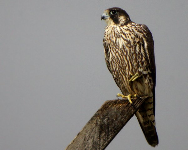 Peregrine Falcon, photo by Corey Finger
