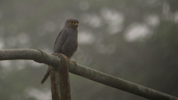 Gray Kestrel, photo by Chris Townend
