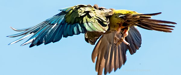 Burrowing Parrot Flying