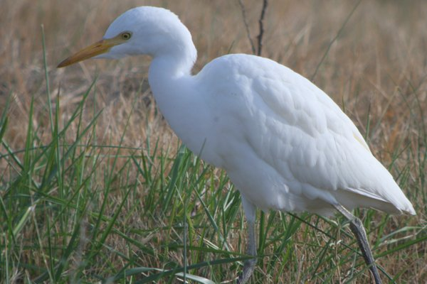 Cattle Egret in Brooklyn