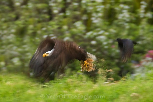 Bald Eagle Gathering Nesting Material