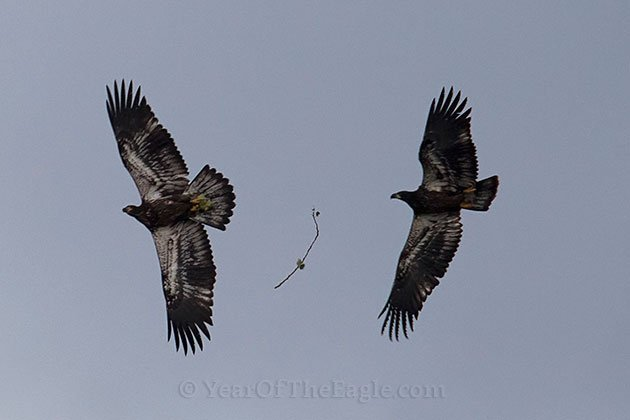 Bald Eagle Fledglings Passing a Stick in Flight