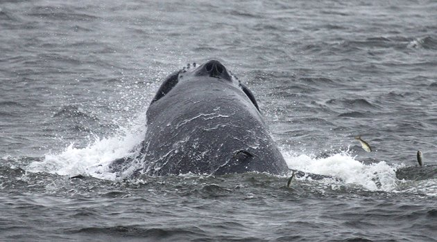 Humpback Whale in New York