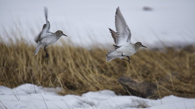 White-rumped and Baird's Sandpipers take to the air