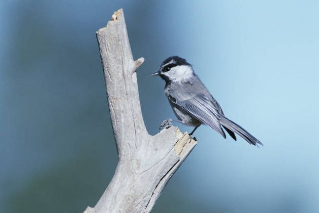 Mountain_chickadee_featured