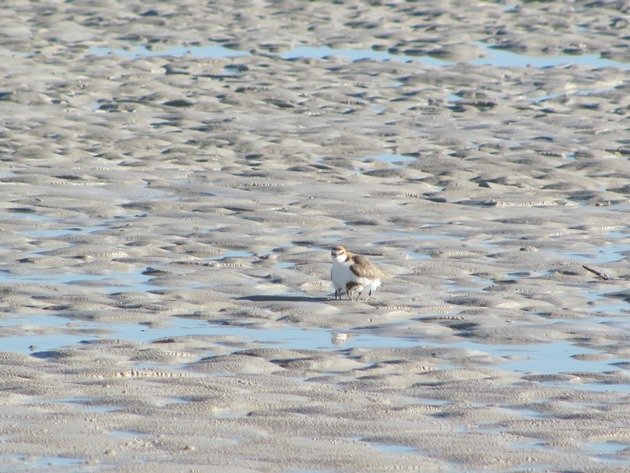 Red-capped Plover & chicks (6)