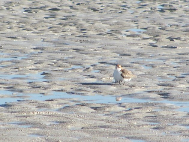 Red-capped Plover & chicks (7)