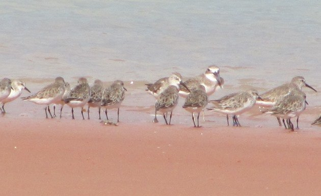 Red-necked Stint 321 & shorebirds