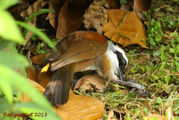 SIN 09May13 White-crested Laughing Thrush 11
