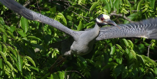 Yellow-crowned Night-Heron taking off with stick