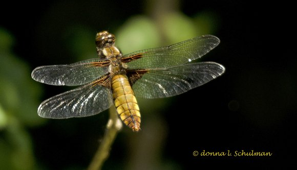 fBroad-bodied Chaser female