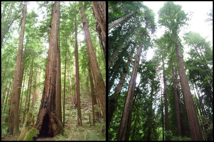 Ouest américain Muir Woods séquoias San Francisco