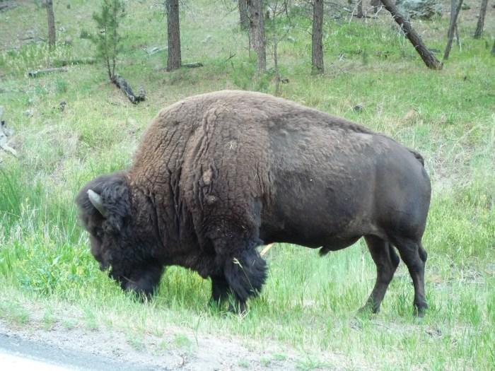 Ouest américain Black Hills Custer Park Bison