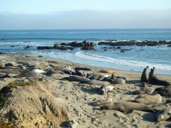 Ouest américain San Simeon elephants seals
