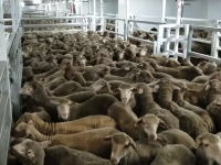 劣悪な環境で船輸送される羊たち。内部の隠し撮りビデオが公開され問題に。