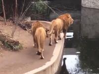 観客に気を取られていたライオンがwww動物園で間抜けなライオンが撮影される。