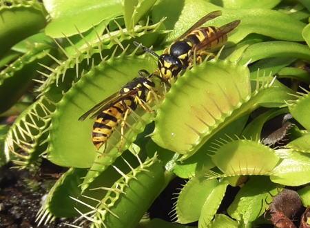 スズメバチを食いまくる食虫植物(ハエトリグサ)の映像が面白くてずっと見ていられる。