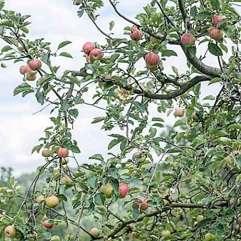 Hello apple season! Something tells me that these will endhellip