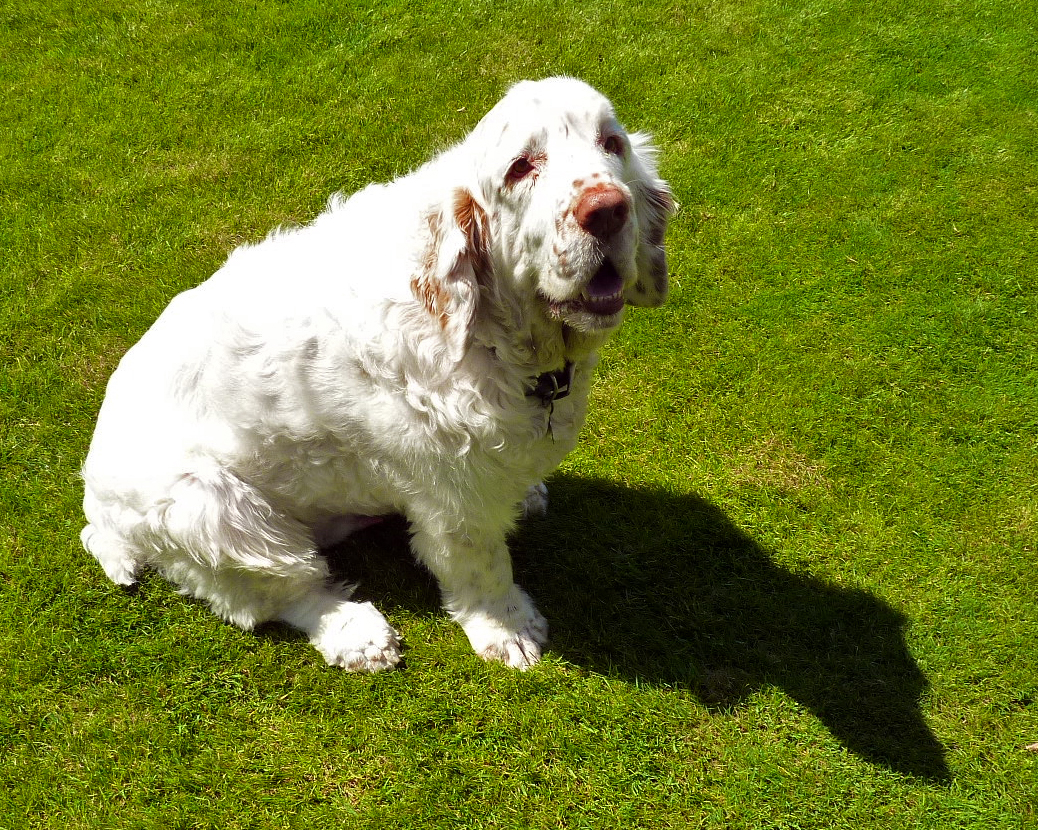 Clumber Spaniel Clumber Spaniel Info Temperament Training Puppies Pictures