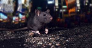 City_Rat_In-The_streets
