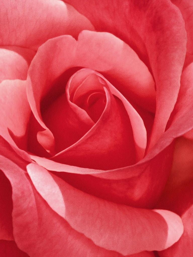 Cute Initial Wallpaper Flowers Pretty Pink Rose Flower Ipad Iphone Hd