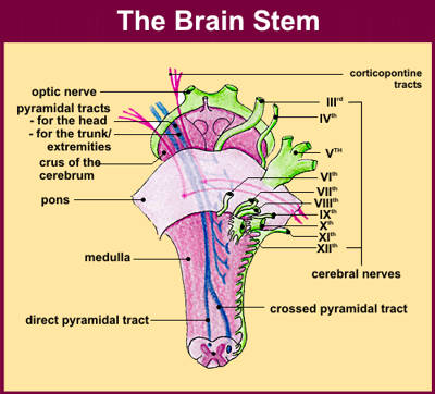 12 Cranial Nerves The 12 Pairs of Nerves That Emerge Directly From