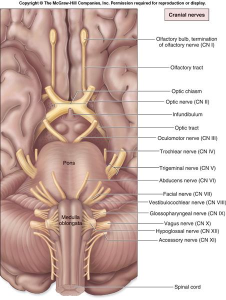 12 cranial nerves cures signs symptoms 12 cranial nerves blog