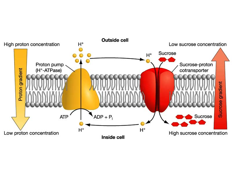 12knights is a DP biology wiki / 9211 Outline the role of phloem